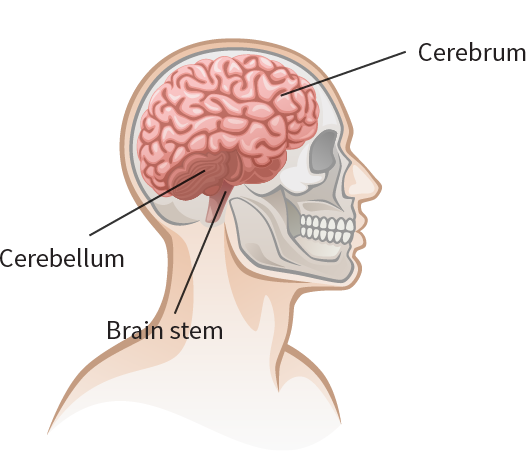 Diagram: Brain: Cerebellum, Brain Stem, Cerebrum
