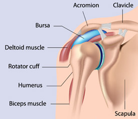 Shoulder diagram illustrating joints, muscles and tendons